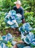 Jardinero con la col púrpura orgánica Foto de archivo