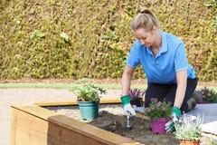 Jardinero de paisaje Planting Flower Bed en jardín Imagen de archivo