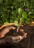 Jardinero del afroamericano que planta la nueva planta Imagen de archivo libre de regalías