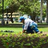 Jardinero en Miraflores, Lima, Perú Fotos de archivo