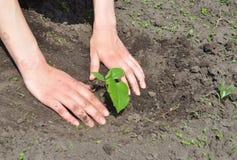 Jardinero Hands Planting Cucumber imagen de archivo