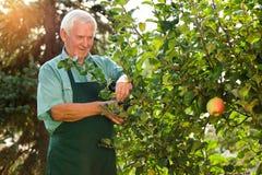 Jardinero mayor con las tijeras Foto de archivo libre de regalías