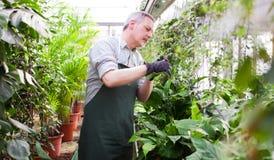 Jardinero que arregla una planta Foto de archivo libre de regalías