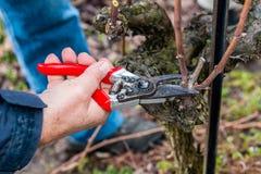 Jardinero que corta la vid en la primavera Foto de archivo libre de regalías