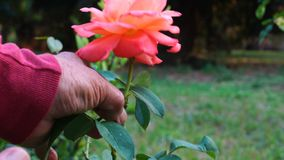 Jardinero que corta una flor color de rosa almacen de video