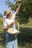 Jardinero que escoge manzanas orgánicas Imagenes de archivo