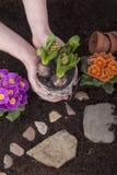 Jardinero que planta las flores de la primavera Imagen de archivo libre de regalías
