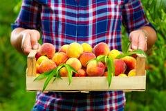 Jardinero que sostiene un cajón de fruta del verano, melocotones maduros Foto de archivo