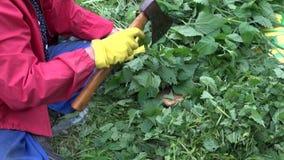Jardinero que taja las ortigas metrajes