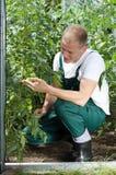 Jardinero que trabaja en invernadero Imagen de archivo