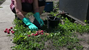 Jardinero y rábano almacen de video