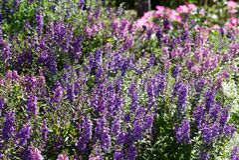 Jardines de flores púrpuras hermosos Foto de archivo