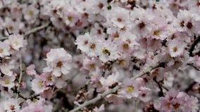 Jardines de la almendra, huerta de la almendra en la floración, llanos Israel de Judea metrajes