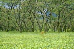 Jardines de té del kangra, dharamshala la India Fotografía de archivo libre de regalías