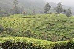 Jardines de té en la India Foto de archivo libre de regalías