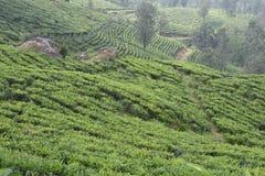 Jardines de té en la India Fotos de archivo libres de regalías