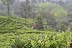 Jardines de té en la India Imágenes de archivo libres de regalías