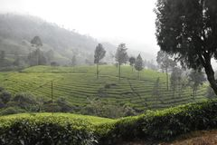 Jardines de té en la India Imagen de archivo libre de regalías