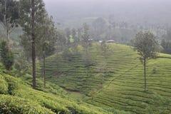 Jardines de té en la India Fotografía de archivo libre de regalías