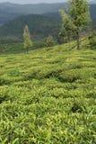Jardines de té en la India Imagen de archivo