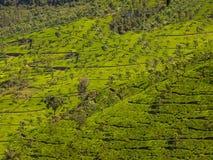 Jardines de té en las colinas ooty Fotografía de archivo