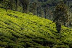 Jardines de té de Ooty en el estado del té Foto de archivo