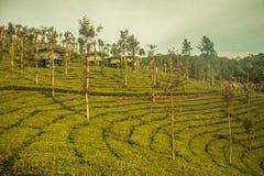 Jardines de té de Ooty en el estado del té Fotos de archivo