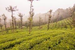 Jardines de té de Ooty en el estado del té frontera del wayanad Imagenes de archivo