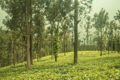 Jardines de té de Ooty en el estado del té frontera del wayanad Imágenes de archivo libres de regalías