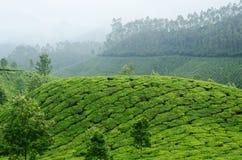 Jardines de té verde en la montaña de Munnar, Kerala, Ghats occidental, la India imagen de archivo libre de regalías