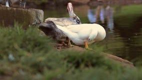 Jardines japoneses con los pájaros salvajes almacen de video