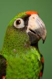 Jardines Papagei Stockfoto