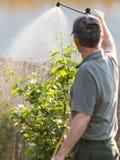 Jardinier appliquant un engrais d'insecticide à ses arbustes de fruit photo libre de droits