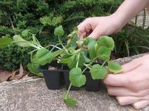 Jardinier avec des arbres jeunes Photo stock