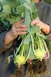 Jardinier avec des usines de chou-rave Images libres de droits