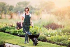 Jardinier avec la jeune plante dans la brouette, nature ensoleillée photos libres de droits