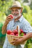 Jardinier avec un panier des pommes mûres photographie stock