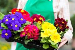 Jardinier dans le jardin ou la pépinière du marché photographie stock