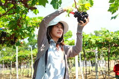 Jardinier de raisins Photo libre de droits