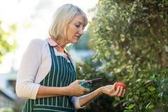 Jardinier féminin tenant les cisailles et la tomate Photo stock
