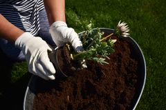 Jardinier f?minin m?connaissable jugeant la belle fleur pr?te ? ?tre plant? dans un jardin photo libre de droits
