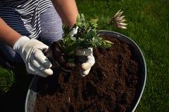 Jardinier f?minin m?connaissable jugeant la belle fleur pr?te ? ?tre plant? dans un jardin photos libres de droits