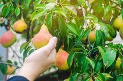Jardinier moissonnant des poires dans le jardin un jour ensoleillé légumes sains de récolte d'automne, vitamines de régime images libres de droits