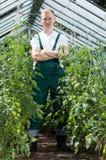 Jardinier parmi des tomates en serre chaude Image stock