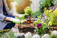Jardinier plantant des fleurs dans le lit de jardin photographie stock