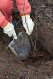 Jardinier plantant l'arbre au printemps image stock