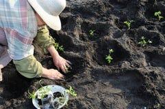 Jardinier plantant une jeune plante de tomate images stock