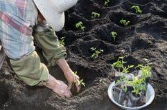 Jardinier plantant une jeune plante de tomate images libres de droits