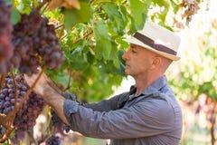 Jardinier s?lectionnant les raisins rouges m?rs de la vigne photo stock