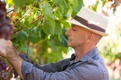 Jardinier s?lectionnant les raisins rouges m?rs de la vigne photos stock